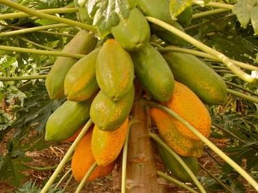 fruta tropical en Gran Canaria