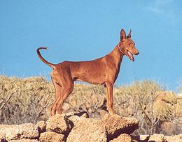 Imagen: podenco canario (Wikipedia)